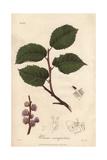 Field Elm Tree, Ulmus Minor Giclee Print by G. Reid