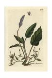 """Water Knotweed, Persicaria Amphibia, From Pierre Bulliard's """"Flora Parisiensis,"""" 1776, Paris Giclee Print by Pierre Bulliard"""