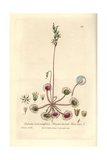 Round-leaved Sundew, Drosera Rotundifolia, From W. Baxter's British Phaenogamous Botany, 1836 Giclee Print by Charles Mathews