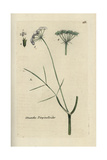 "Water Dropwort, Oenanthe Pimpinelloides, From Bulliard's ""Flora Parisiensis,"" 1776, Paris Giclee Print by Pierre Bulliard"
