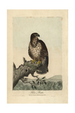 Common Buzzard, Falco Buteo, Buteo Buteo Reproduction procédé giclée par George Graves