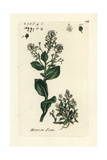 "Water Cabbage, Samolus Valerandi, From Pierre Bulliard's ""Flora Parisiensis,"" 1776, Paris Giclee Print by Pierre Bulliard"