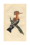 Common Hoopoe From Edward Donovan's Natural History of British Birds, 1799 Reproduction procédé giclée par Edward Donovan