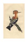 Common Hoopoe From Edward Donovan's Natural History of British Birds, 1799 Reproduction procédé giclée par Edward Donovan