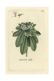 "Spurge Laurel, Daphne Laureola, From Pierre Bulliard's ""Flora Parisiensis,"" 1776, Paris Giclee Print by Pierre Bulliard"