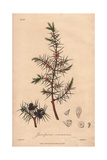 Juniper, Juniperus Communis, From William Baxter's British Phaenogamous Botany, Oxford, 1841 Giclee Print by G. Reid
