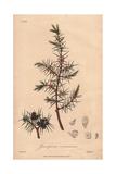 Juniper, Juniperus Communis, From William Baxter's British Phaenogamous Botany, Oxford, 1841 Giclee Print by G. Reid
