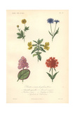 Cinquefoil, Blue Cornflower, Yellow Musk Flower, Pink Siberian Saxifrage And Scarlet Maltese Cross Giclee Print by Edouard Maubert
