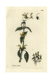 "Yellow Archangel, Lamium Galeobdolon, From Pierre Bulliard's ""Flora Parisiensis,"" 1776, Paris Giclee Print by Pierre Bulliard"