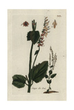 "Wood Sage, Teucrium Scorodonia, From Pierre Bulliard's ""Flora Parisiensis,"" 1776, Paris Giclee Print by Pierre Bulliard"
