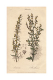 Levant Wormseed, Artemisia Cina, And Ground Wormwood, Artemisia Absinthium Giclee Print by William Clark
