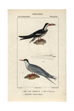 Black Skimmer And Tern From Sainte-Croix's Dictionary of Natural Science: Ornithology Reproduction procédé giclée