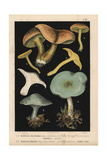 Sulphur Knight Or Gas Agaric Giclee Print