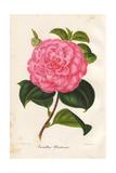 Pink Camellia Olivetana Giclee Print