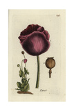 "Opium Poppy, Papaver Somniferum, From Pierre Bulliard's ""Flora Parisiensis,"" 1776, Paris Giclee Print by Pierre Bulliard"