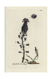 "Tassel Hyacinth, Muscari Comosum, From Pierre Bulliard's ""Flora Parisiensis,"" 1776, Paris Giclee Print by Pierre Bulliard"