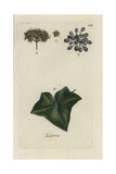 "Ivy, Hedera Helix, From Pierre Bulliard's ""Flora Parisiensis,"" 1776, Paris Giclee Print by Pierre Bulliard"