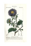 China Aster, Callistephus Chinensis Giclee Print by Pierre J-F Turpin