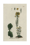 "Wintercress, Barbarea Vulgaris, From Pierre Bulliard's ""Flora Parisiensis,"" 1776, Paris Giclee Print by Pierre Bulliard"