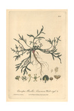 Wart Cress, Coronopus Ruellii, From William Baxter's British Phaenogamous Botany, Oxford, 1839 Giclee Print by Charles Mathews