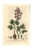 Solid-rooted Corydalis, Corydalis Solida, From William Baxter's British Phaenogamous Botany, 1836 Giclee Print by Isaac Russell