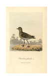 European Golden Plover, Pluvialis Apricaria Giclee Print by George Graves