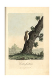 Eurasian Treecreeper, Certhia Familiaris Giclee Print by George Graves