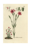 "Maiden Pink, Dianthus Deltoides, From Pierre Bulliard's ""Flora Parisiensis,"" 1776, Paris Giclee Print by Pierre Bulliard"