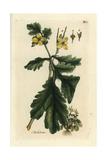Greater Celandine, Chelidonium Majus Giclee Print by Pierre Bulliard