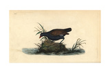 Moorhen From Edward Donovan's Natural History of British Birds, London, 1799 Giclee Print by Edward Donovan