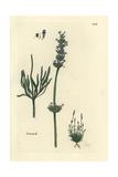 Lavender, Lavandula Spica Giclee Print by Pierre Bulliard