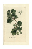 "Gooseberry, Ribes Uva-crispa, From Pierre Bulliard's ""Flora Parisiensis,"" 1776, Paris Giclee Print by Pierre Bulliard"