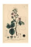Blackberry, Rubus Fruticosus, From William Baxter's British Phaenogamous Botany, Oxford, 1839 Giclee Print by Charles Mathews