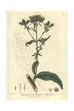 Ploughman's Spikenard, Conyza Squarrosa, From William Baxter's British Phaenogamous Botany, 1838 Giclee Print by Isaac Russell