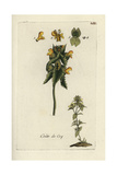 "Yellow Rattle, Rhinanthus Minor, From Pierre Bulliard's ""Flora Parisiensis,"" 1776, Paris Giclee Print by Pierre Bulliard"