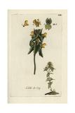 "Yellow Rattle, Rhinanthus Minor, From Pierre Bulliard's ""Flora Parisiensis,"" 1776, Paris Giclee Print by Pierre Bulliard"