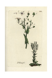 "Field Pepperwort, Thlaspi Campestre, From Pierre Bulliard's ""Flora Parisiensis,"" 1776, Paris Giclee Print by Pierre Bulliard"