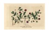 Scarlet Pimpernel, Anagallis Arvensis, From William Baxter's British Phaenogamous Botany, 1834 Giclée-Druck von Isaac Russell