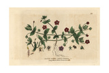 Scarlet Pimpernel, Anagallis Arvensis, From William Baxter's British Phaenogamous Botany, 1834 Giclee Print by Isaac Russell