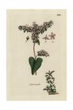 "Buckwheat, Fagopyrum Esculentum, From Pierre Bulliard's ""Flora Parisiensis,"" 1776, Paris Giclee Print by Pierre Bulliard"