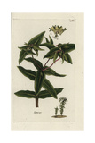 "Spurge, Euphorbia Latyris, From Pierre Bulliard's ""Flora Parisiensis,"" 1776, Paris Giclee Print by Pierre Bulliard"