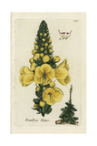 "Greater Mullein, Vebascum Thapsus, From Pierre Bulliard's ""Flora Parisiensis,"" 1776, Paris Giclee Print by Pierre Bulliard"