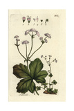 "Wood Sanicle, Sanicula Officinalis, From Pierre Bulliard's ""Flora Parisiensis,"" 1776, Paris Giclee Print by Pierre Bulliard"