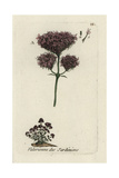 "Red Spur Valerian, Valeriana Rubra, From Pierre Bulliard's ""Flora Parisiensis,"" 1776, Paris Giclee Print by Pierre Bulliard"
