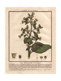 Wild Tobacco, Aztec Tobacco Or Mapacho, Nicotiana Rustica Giclee Print by Pierre Bulliard