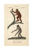 Orangutan And Silvery Gibbon From Frederic Cuvier's Dictionary of Natural Science: Mammals Giclee Print