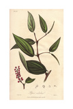 Cubeb Or Java Pepper, Piper Cubeba Giclee Print by G. Reid