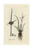 "Brown Galingale, Cyperus Suscus, From Pierre Bulliard's ""Flora Parisiensis,"" 1776, Paris Giclee Print by Pierre Bulliard"