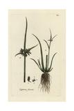 "Brown Galingale, Cyperus Suscus, From Pierre Bulliard's ""Flora Parisiensis,"" 1776, Paris Giclee Print by Pierre Bulliard"