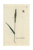 "Hooked Bristle Grass, Setaria Verticillata, From Bulliard's ""Flora Parisiensis,"" 1776, Paris Giclee Print by Pierre Bulliard"